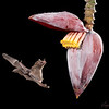 Nectar Eating  Bat at Banana Flower