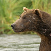 Male Coastal Brown Bear Boar