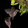 Pallas's Long-tongued Bat