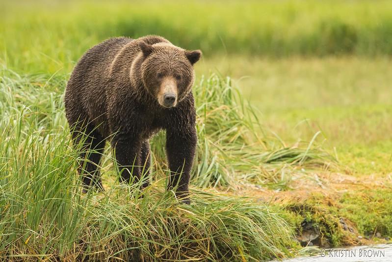 Coastal Brown Bear Sow