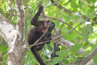 Howler Monkey with a nasty case of Howler Bot fly