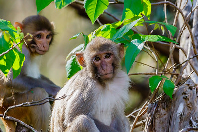 Rhesus Macaques -  a Florida Monkey