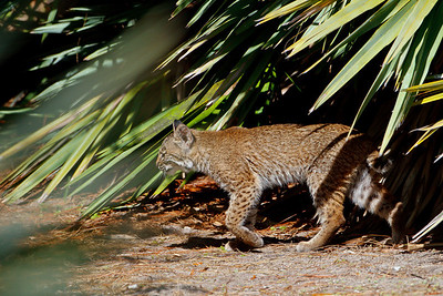 A Florida bobcat at Green Cay.