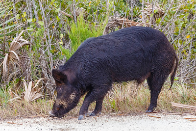 A wild boar, seen at Merritt Island NWR