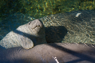 Smiling baby manatee, Blue Springs SP