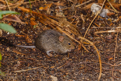 Hispid Cotton Rat, seen within Merritt Island NWR