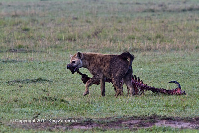 Spotted Hyaena making off with remainder of the kill