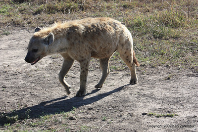 Spotted Hyaena, Ngorongoro Crater Tanzania, 1/02/09