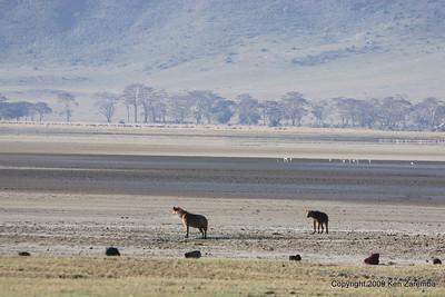 Couple of Spotted Hyaenas, Ngorongoro Crater Tanzania, 1/02/09