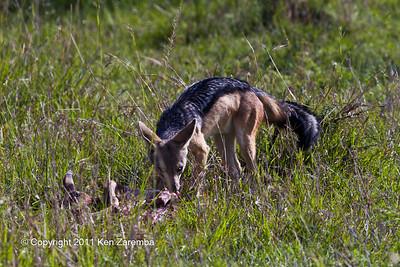 Black-backed Jackel feasting on a cheetah's kill