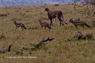 Mangy male Cheetah being followed by Black-backed Jackels