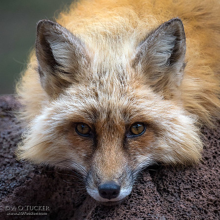 Cutie Pie Fox