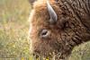 Beauty Of The Buffalo