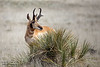 Pronghorn Gaze