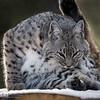Bobcat Grooming