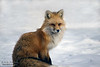 Red Fox - Changing Of The Seasons