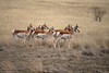 Pronghorn Standing At Attention
