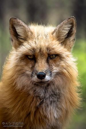 High Maintenance Fox
