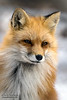Red Fox Winter Glow