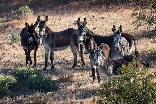 Six Wild Burros
