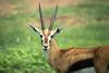 Gazelle Statue