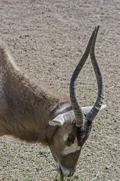Image of Addax Antelope.