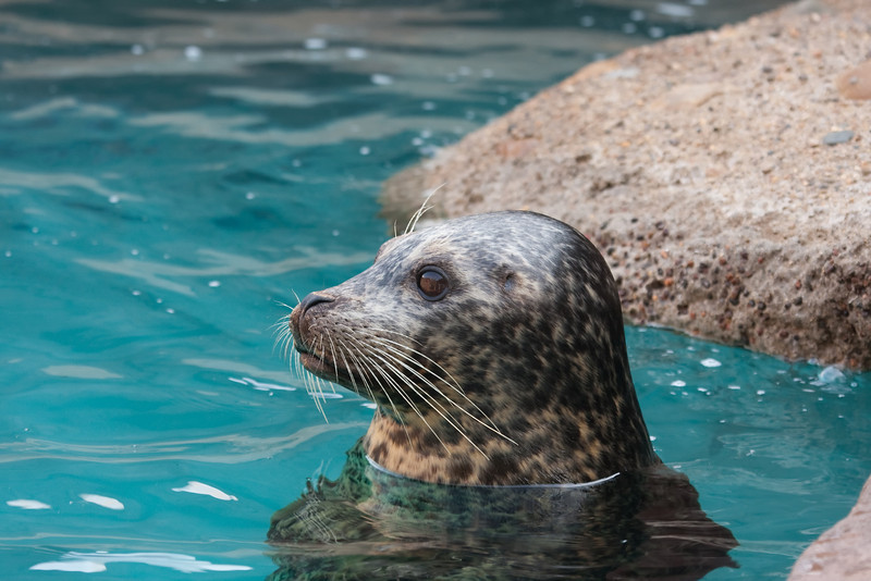 Gray seal resting after a swim
