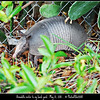 P1400435-20110521  Armadillo backyard