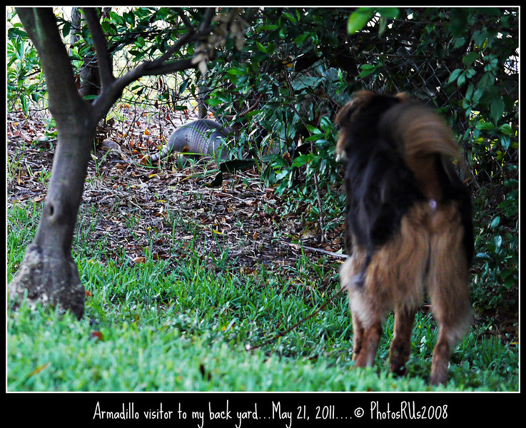 P1400440-20110521  Armadillo backyard