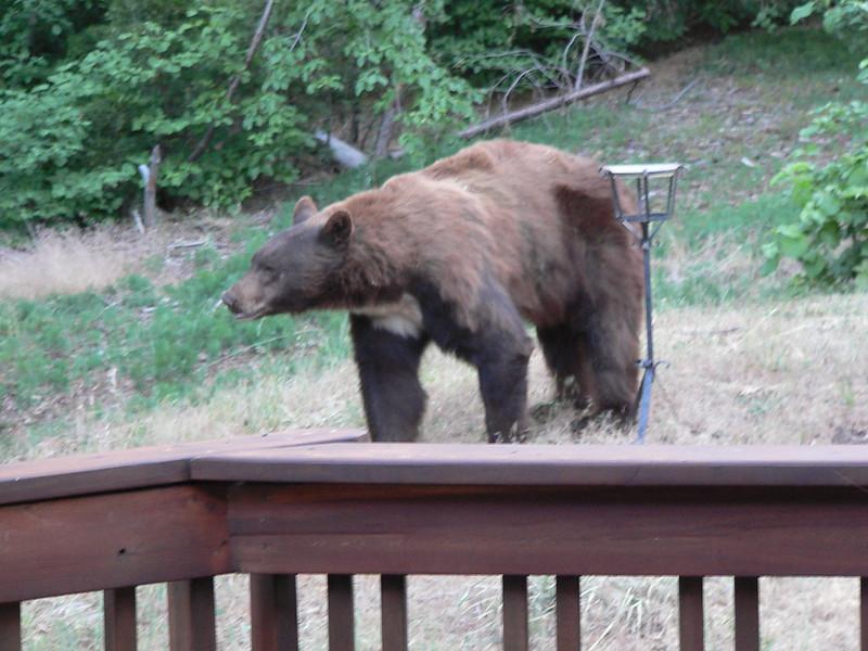 California Black Bear (Ursus americanus californiensis), Blue Jay, CA, 22 Jun 2007.  Photo by my father, Glenn Scriven, with permission.