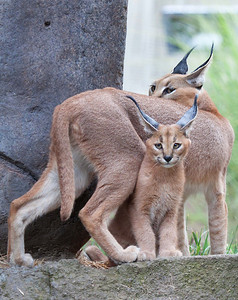 Caracal mother and kitten seen at the Oregon Zoo  Print size 5 x 7 $14.00 USD 8 x 10 $20.00 USD 8 x 12 $20.00 USD 11 x 14 $28.00 USD 12 x 18 $35.00 USD 16 x 20 $50.00 USD