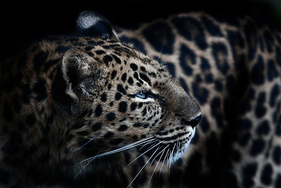 Kia, the female Amur Leopard seen at the Oregon Zoo  Print size 5 x 7 $14.00 USD 8 x 10 $20.00 USD 8 x 12 $20.00 USD 11 x 14 $28.00 USD 12 x 18 $35.00 USD 16 x 20 $50.00 USD