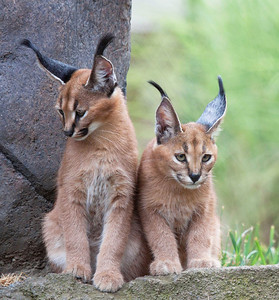 Caracal Kittens seen at the Oregon Zoo  Print size 5 x 7 $14.00 USD 8 x 10 $20.00 USD 8 x 12 $20.00 USD 11 x 14 $28.00 USD 12 x 18 $35.00 USD 16 x 20 $50.00 USD