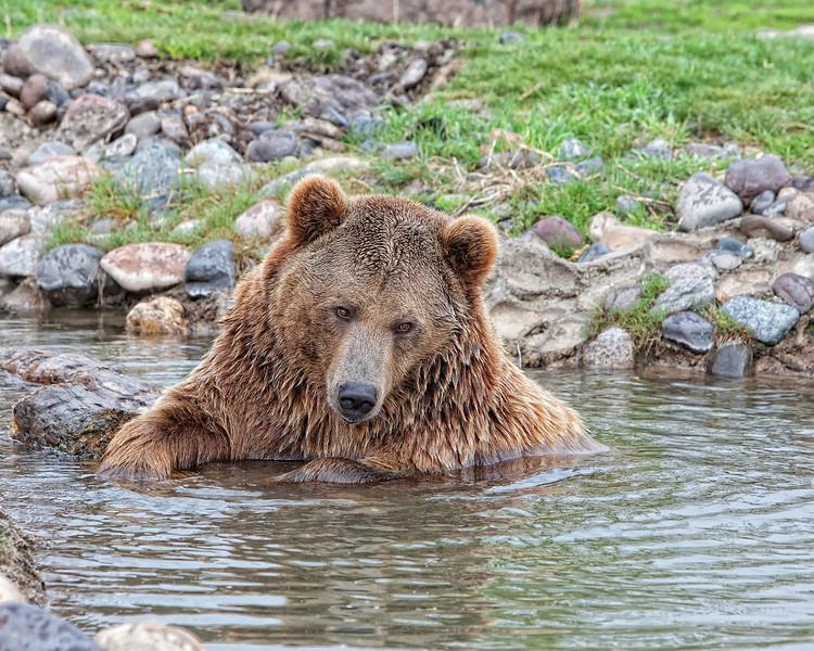 Brutus the bear swimming 1