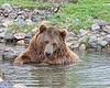Brutus the bear swimming 1