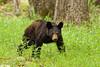 Black bear cub investigating the rest area in Cades Cove
