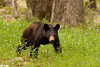 Black bear cub in Cades Cove 1
