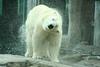Polar bear shaking off after a swim
