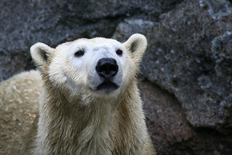 Polar bear waiting for dinner