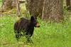 Black bear cub in Cades Cove 2