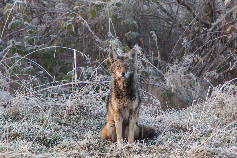 Coyote in the frosty morning