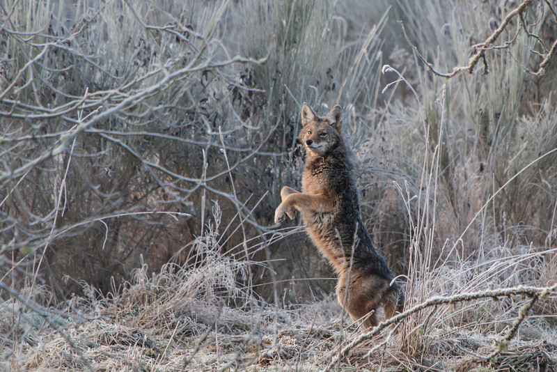 Playful Coyote