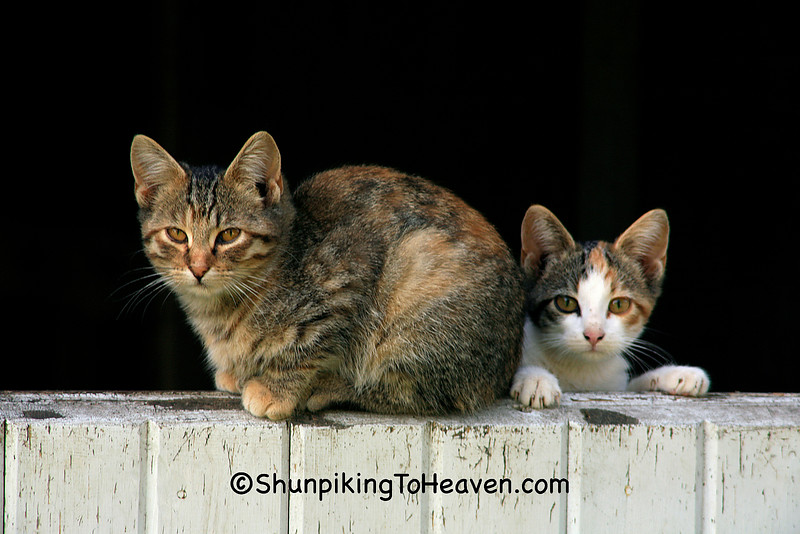 Cat and Kitten on a Half Barn Door - Early Sunday Morning Sun, Franklin County, Iowa