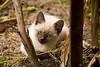 Kitty in the Cornfield, Chickasaw County, Iowa