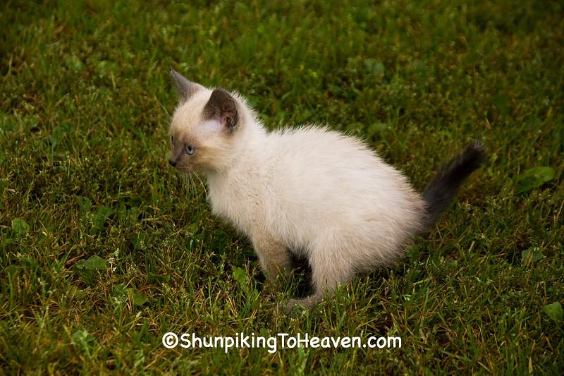 Farm Kitty, Chickasaw County, Iowa