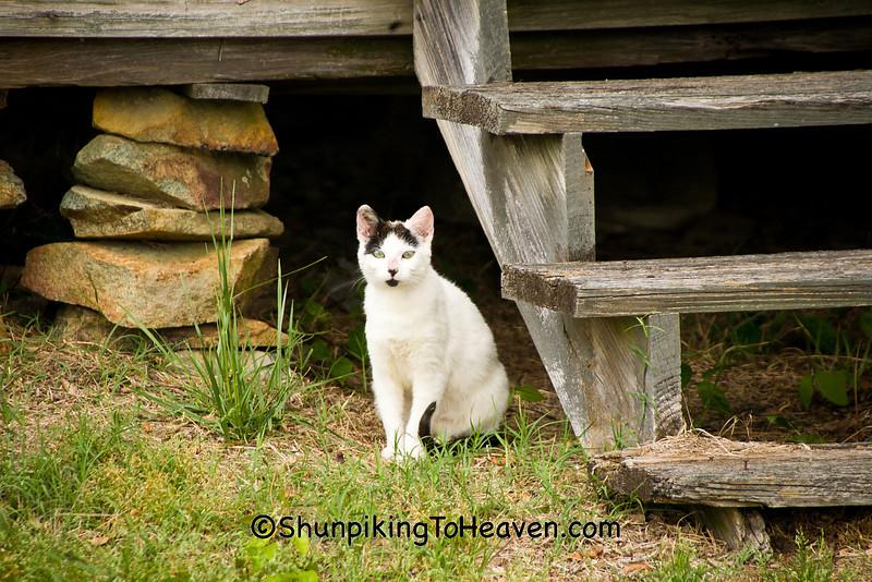 Stray Cat at Abandoned Homestead, Harnett County, North Carolina