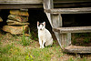 Stray Cat at Abandoned Homestead, Harnett County, North Carolina