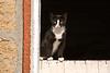Cat on Dutch Barn Door, Stephenson County, Illinois