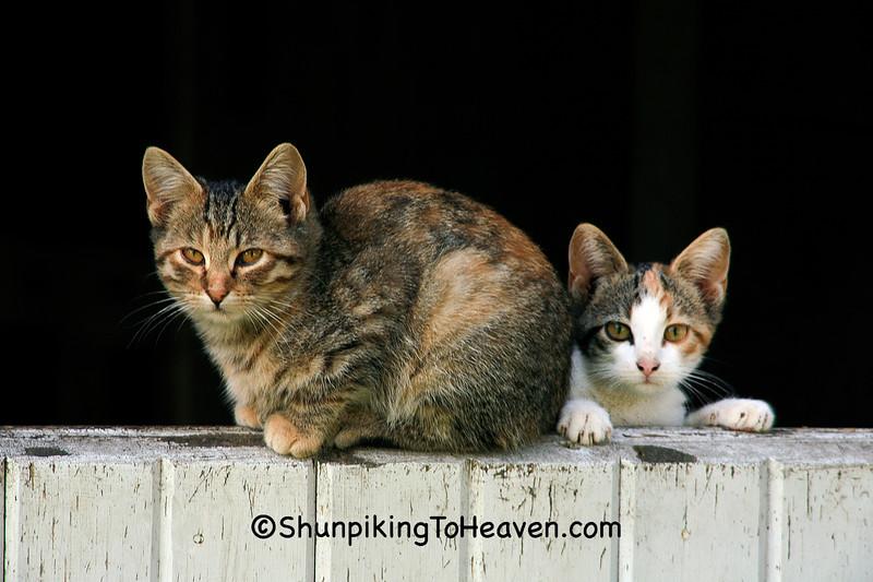 Cat and Kitten on a Half Barn Door, Franklin County, Iowa