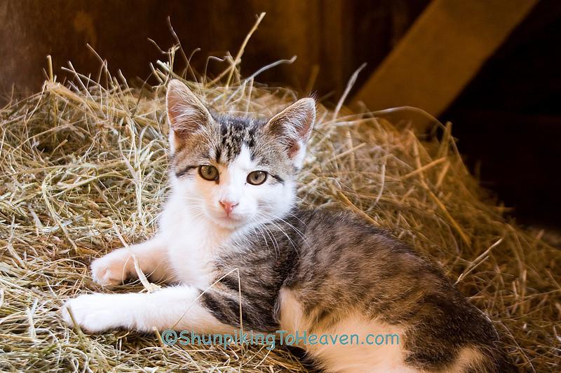 Gray and White Kitten in Hay Manger, Jackson County, Iowa